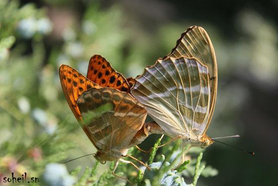 لحظه جفت گیری پروانه